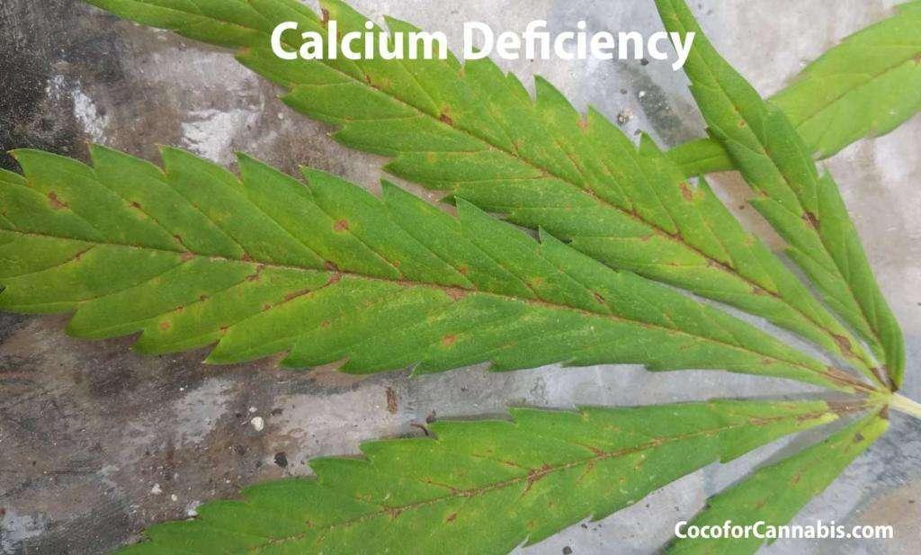 Cannabis Calcium Deficiency