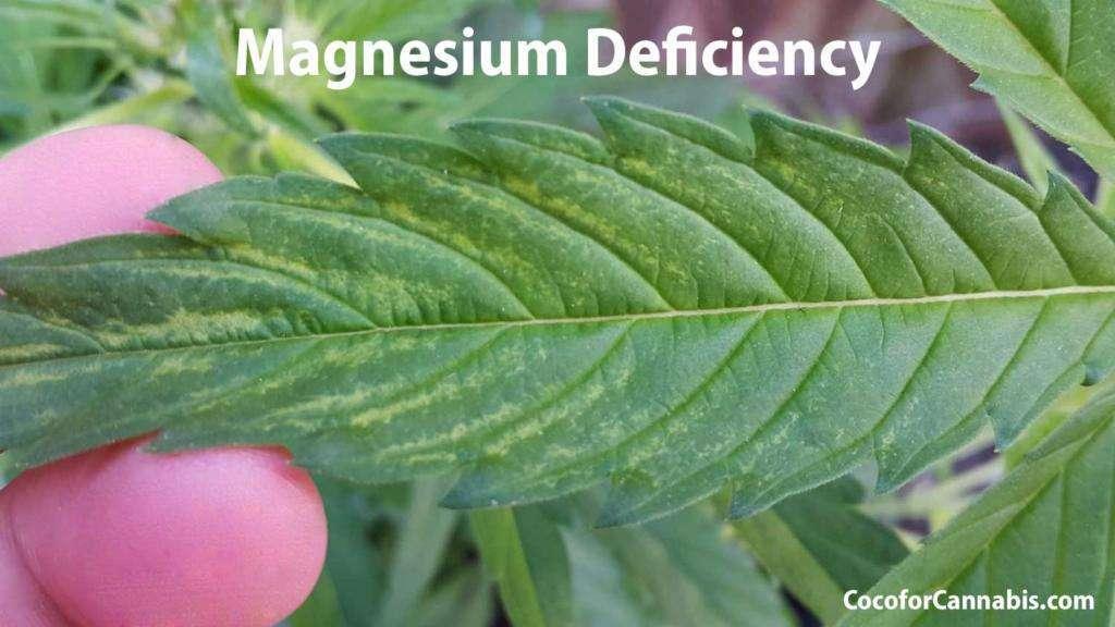 Cannabis Magnesium Deficiency