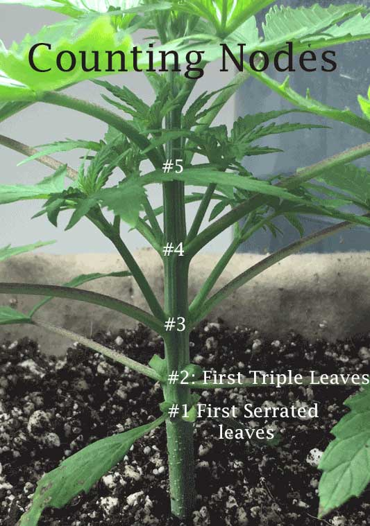 Topping Cannabis Plants: Why, When & How - Coco For Cannabis
