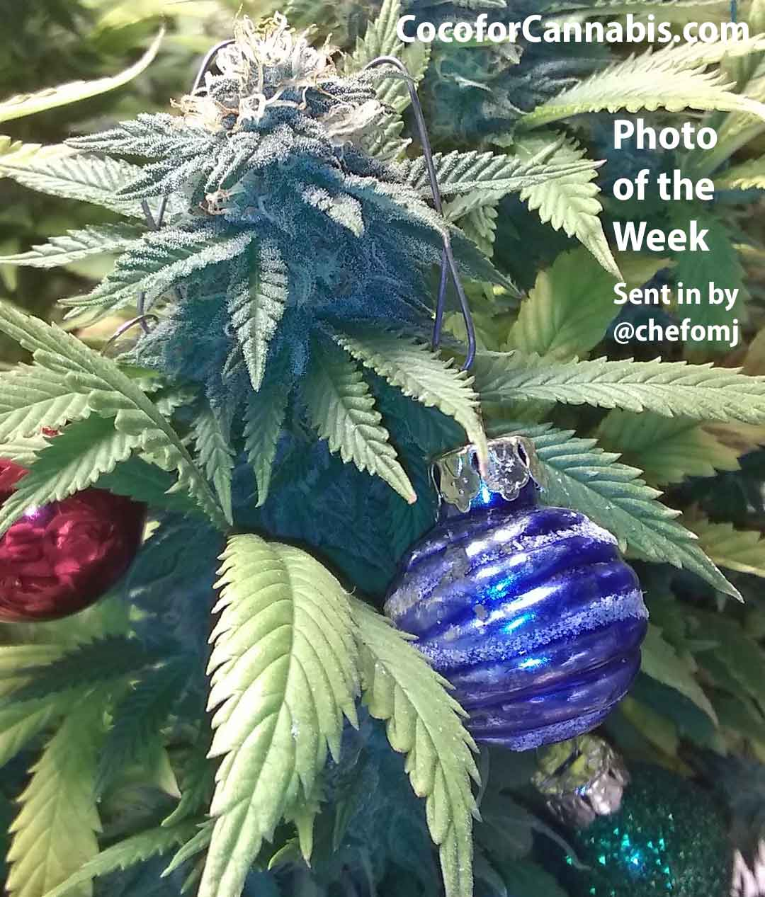 Coco for Cannabis Christmas Photo of the Week