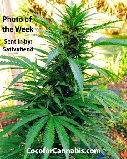 Coco for Cannabis Sativa Photo of the Week