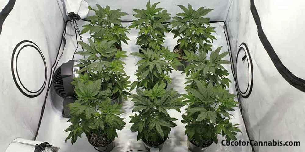 A Cannabis Sea of Green SOG