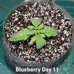 Cannabis Blueberry Seedsman Day 11