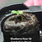 Cannabis Seedling open cotyledons