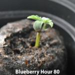Young Cannabis Seedling