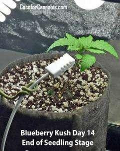 Blueberry Kush Growers Choice Seedling
