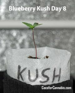 Blueberry Kush Growers Choice Seedling Day 8