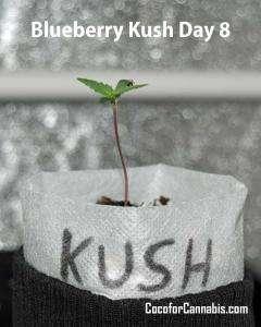 Blueberry Kush Growers Choice Seedling Day 8