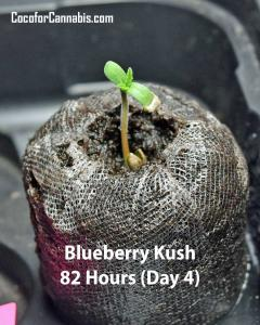 Blueberry-Kush-Hour-82