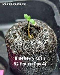 Blueberry-Kush-Hour-82