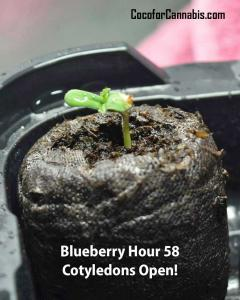 Blueberry-Strain-Hour-58