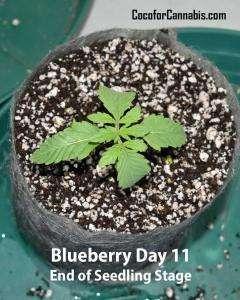 Blueberry-strain-Day-11