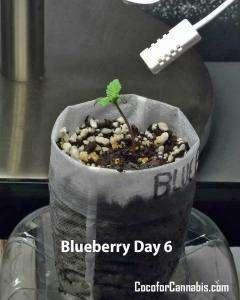 Cannabis Blueberry Seedsman Day 6