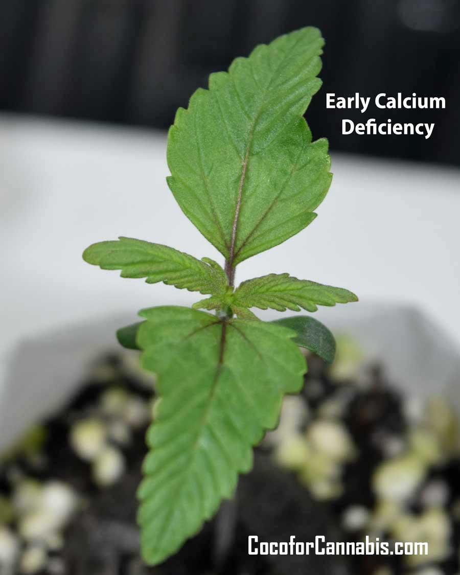 Cannabis Seedling Early Calcium Deficiency