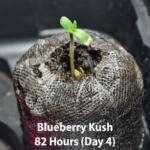 Blueberry Kush Cannabis Cotyledons
