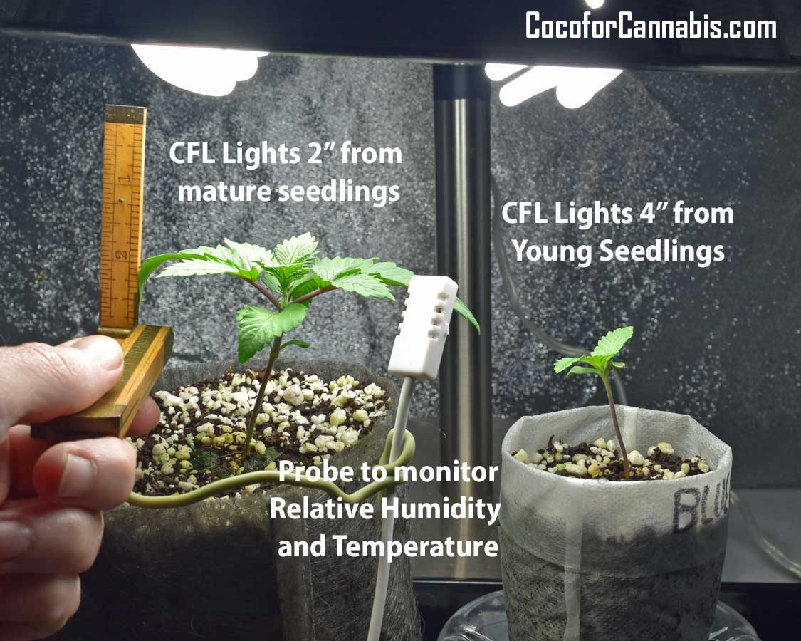 Light Height for Cannabis Seedlings