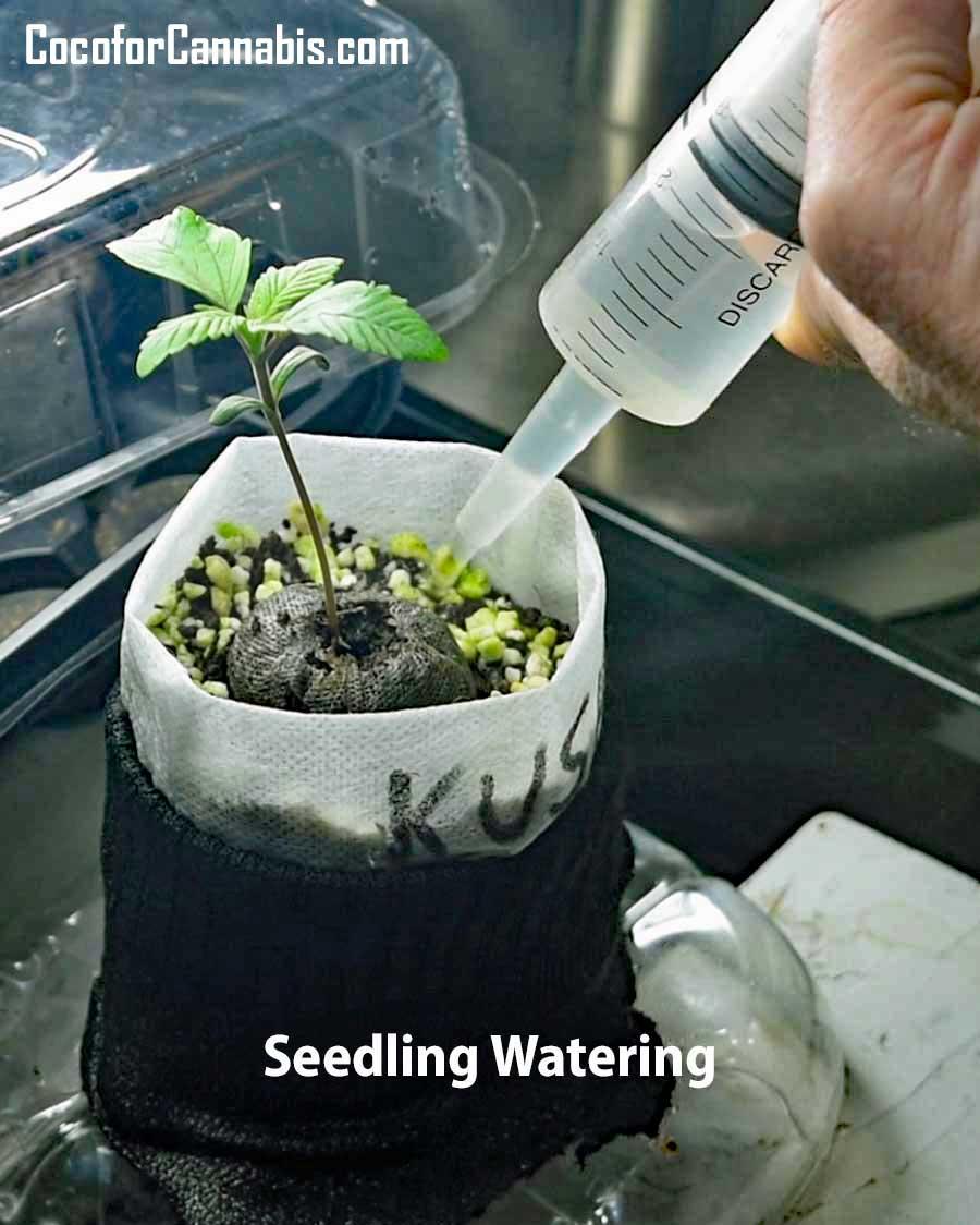 Watering Cannabis Seedling in Coco Coir