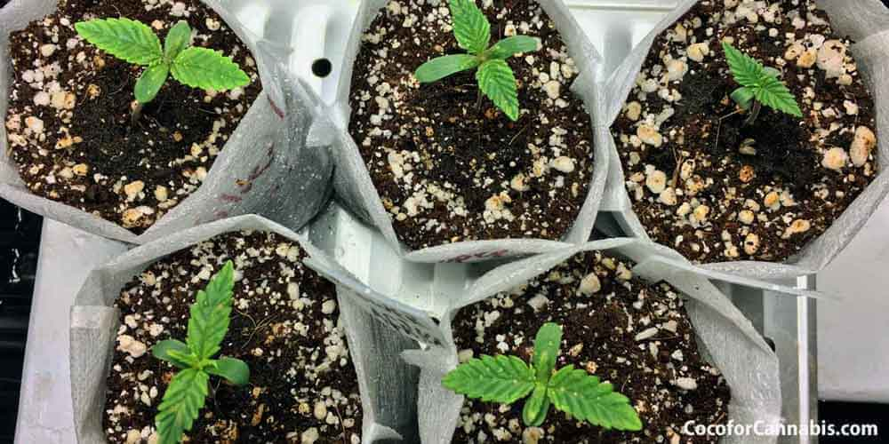 How to Grow Cannabis Seedlings in Coco Coir