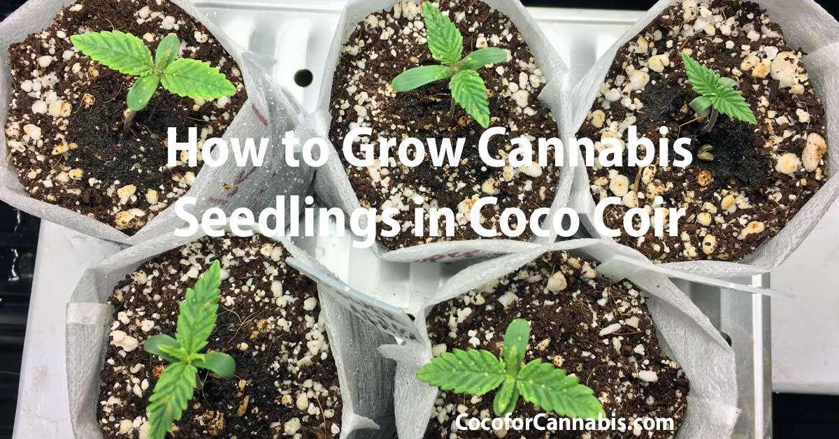 Cannabis Seedlings Care - How To Grow Cannabis Seedlings in