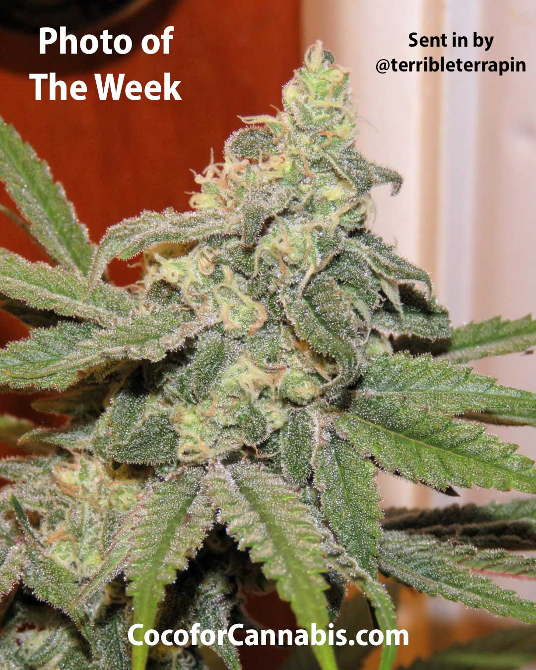 Coco for Cannabis Photo of the Week G13 x Widow