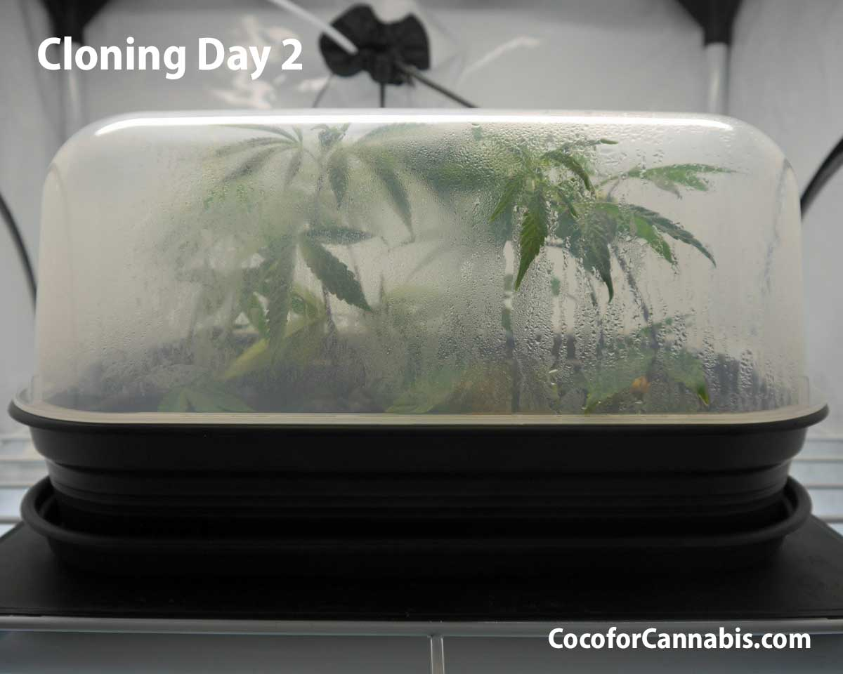 Cannabis Cloning Day 2