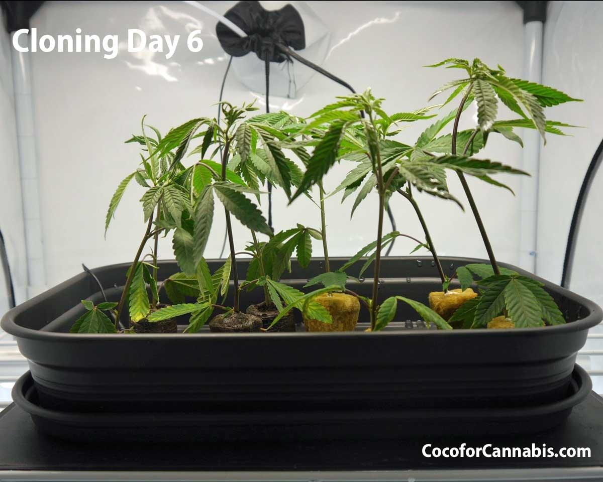 Cannabis Cloning Day 6