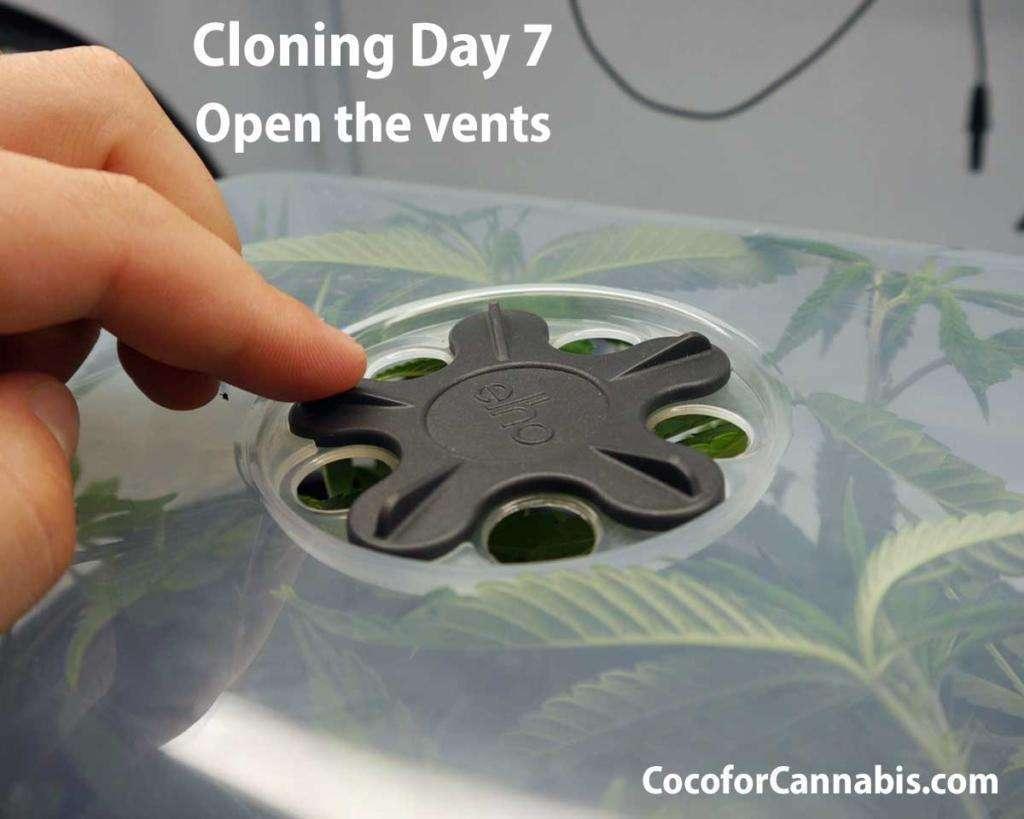 Cannabis Cloning day 7