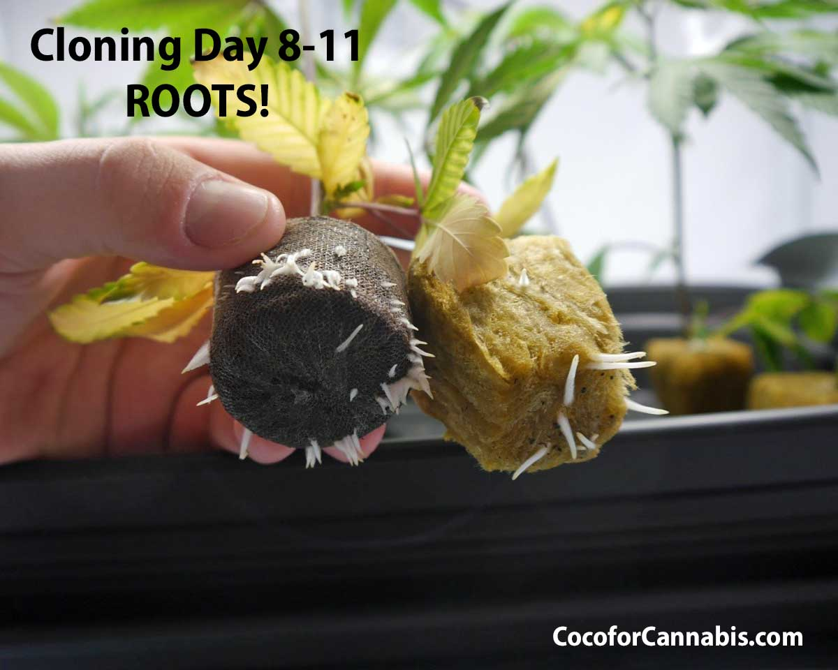 Cannabis Cloning Day 8 Roots