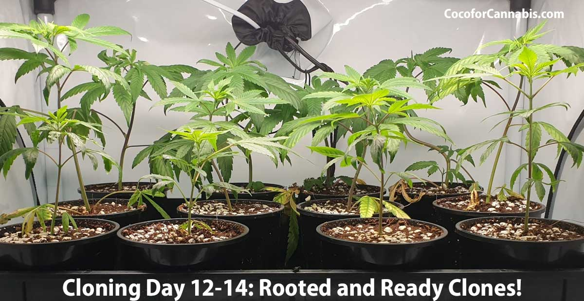 Rooted Cannabis Clones