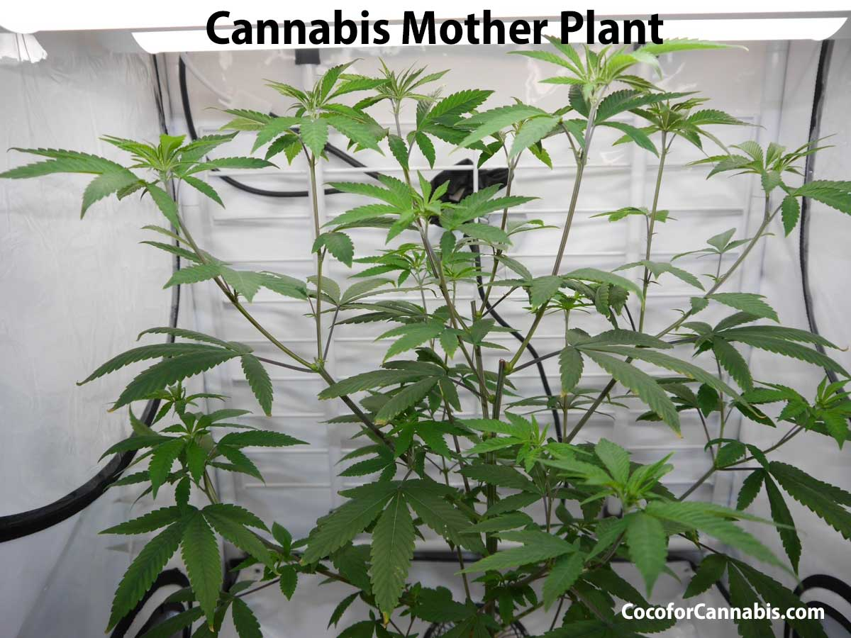 Cannabis Mother Plant