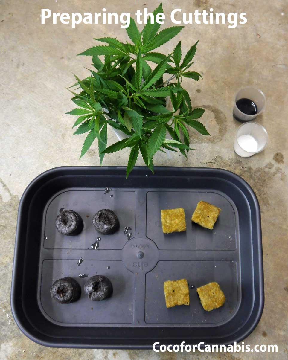 Preparing cannabis cuttings