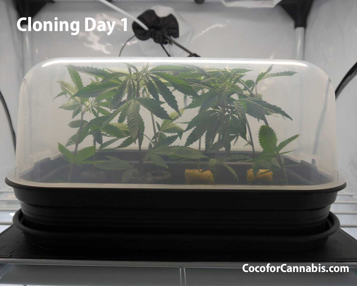 Day one cannabis clones