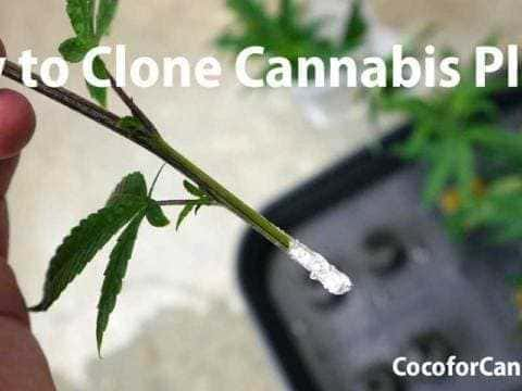 How-to-Clone-Cannabis-Plants-480x360_optimized