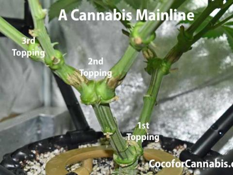 A Cannabis Mainline