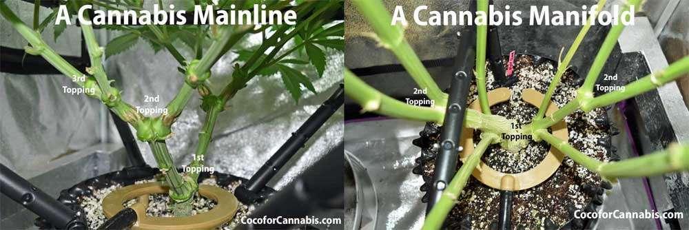 A Cannabis Mainline compared to a Cannabis Manifold