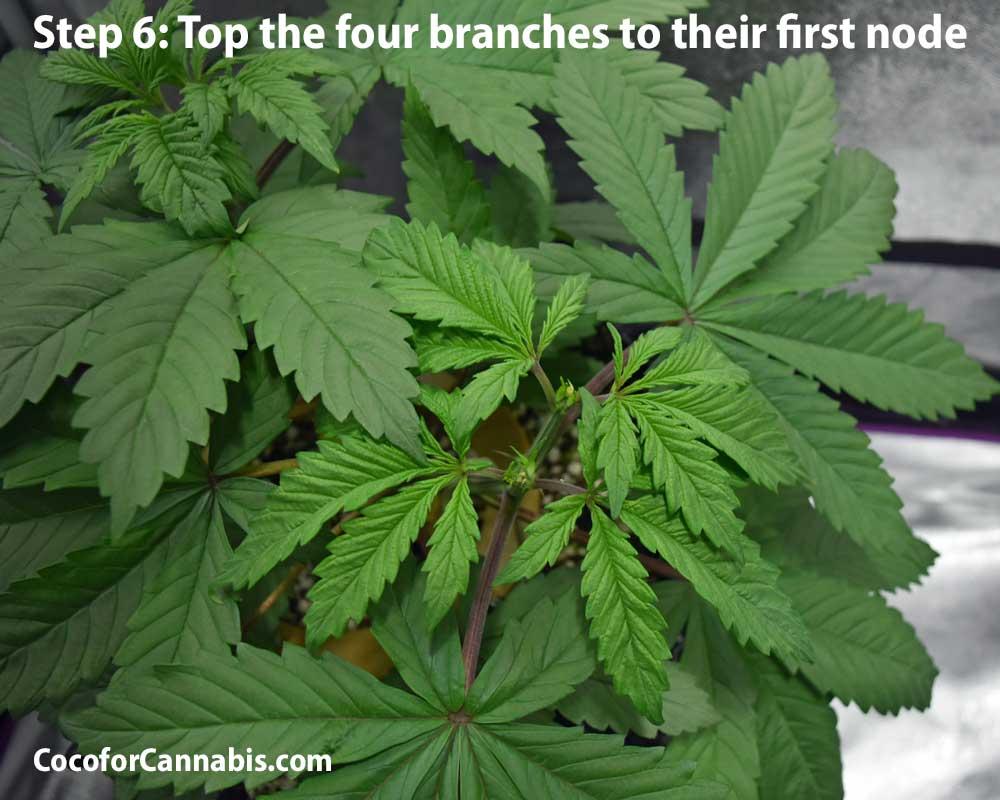 Cannabis Mainline Training Step 6