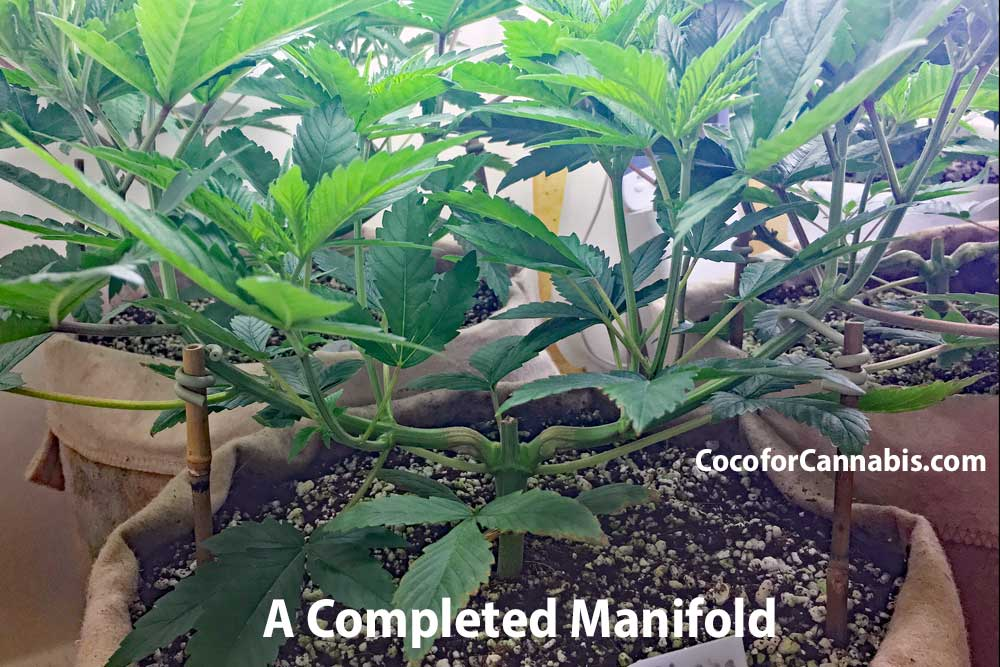 A manifolded cannabis plant in late veg