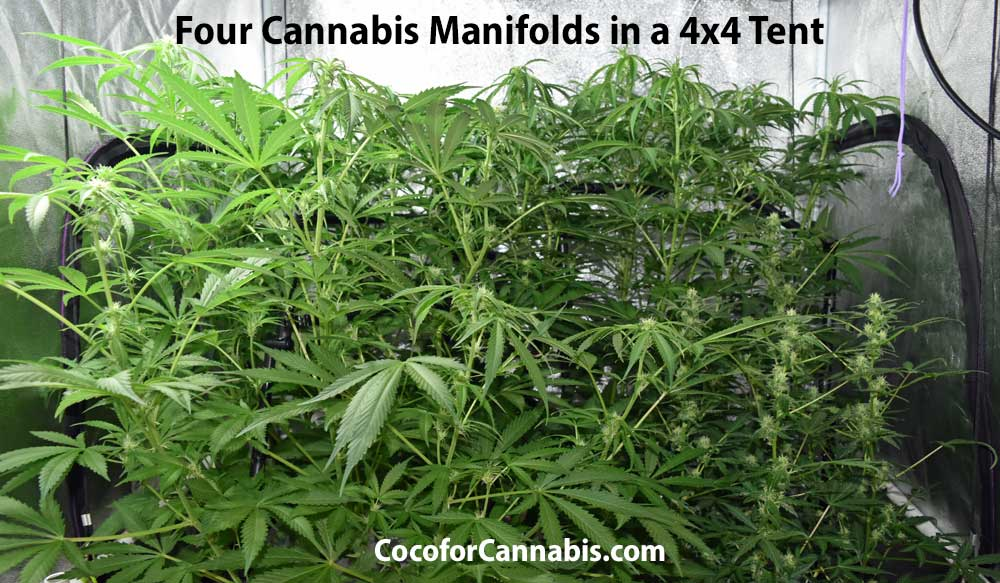 Four Cannabis Manifolds in a 4x4 tent
