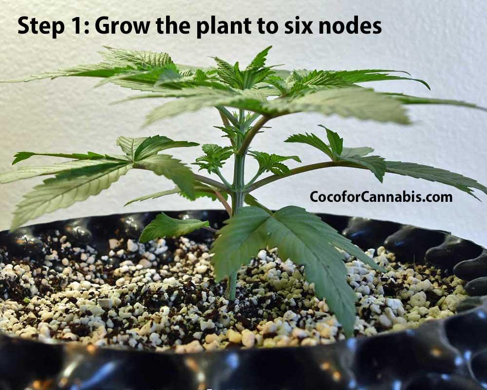 Cannabis Mainline training step 1