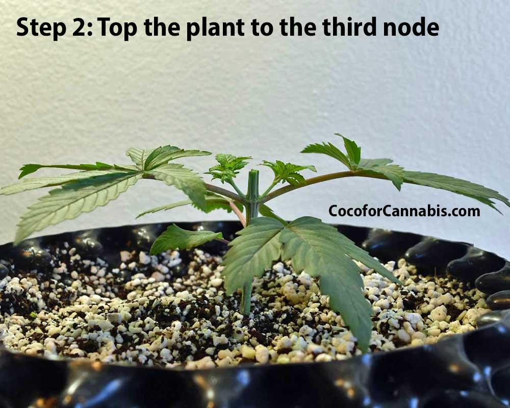 Cannabis Mainline training step 2