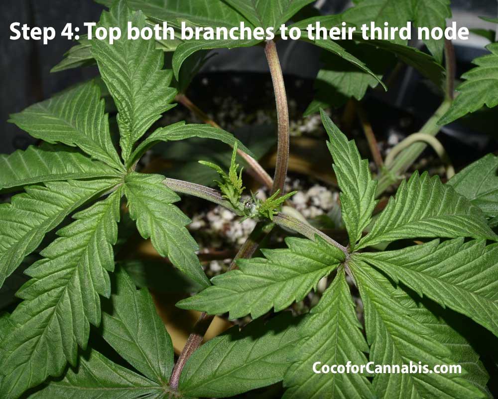 Cannabis mainline training step 4