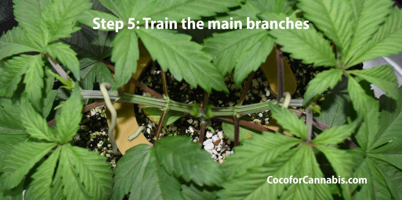 Cannabis mainline step 5
