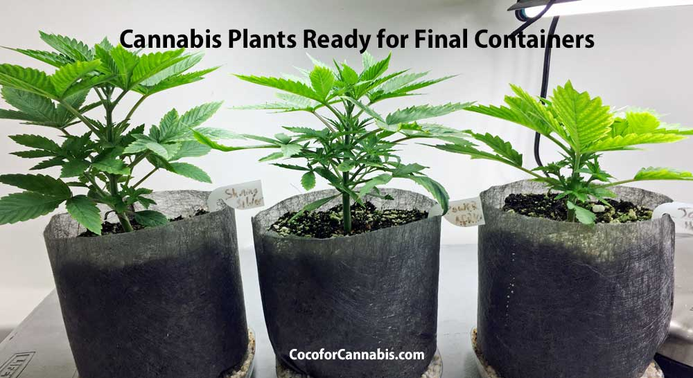 Cannabis Plants ready for transplant to final containers