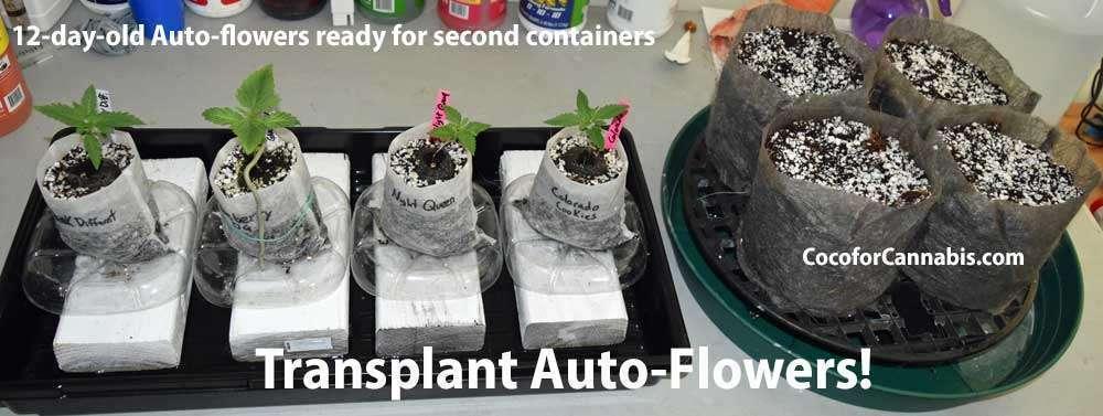 Transplant auto flower cannabis