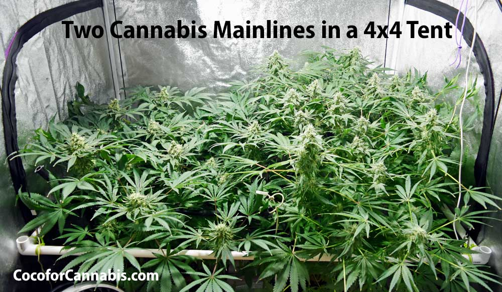 Two Cannabis Mainlines in a 4x4 tent