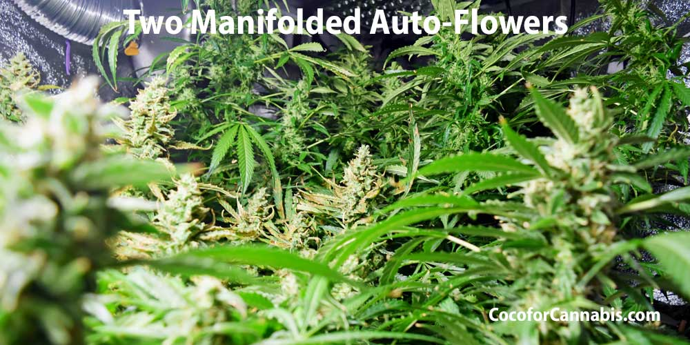 two cannabis manifold auto-flowers