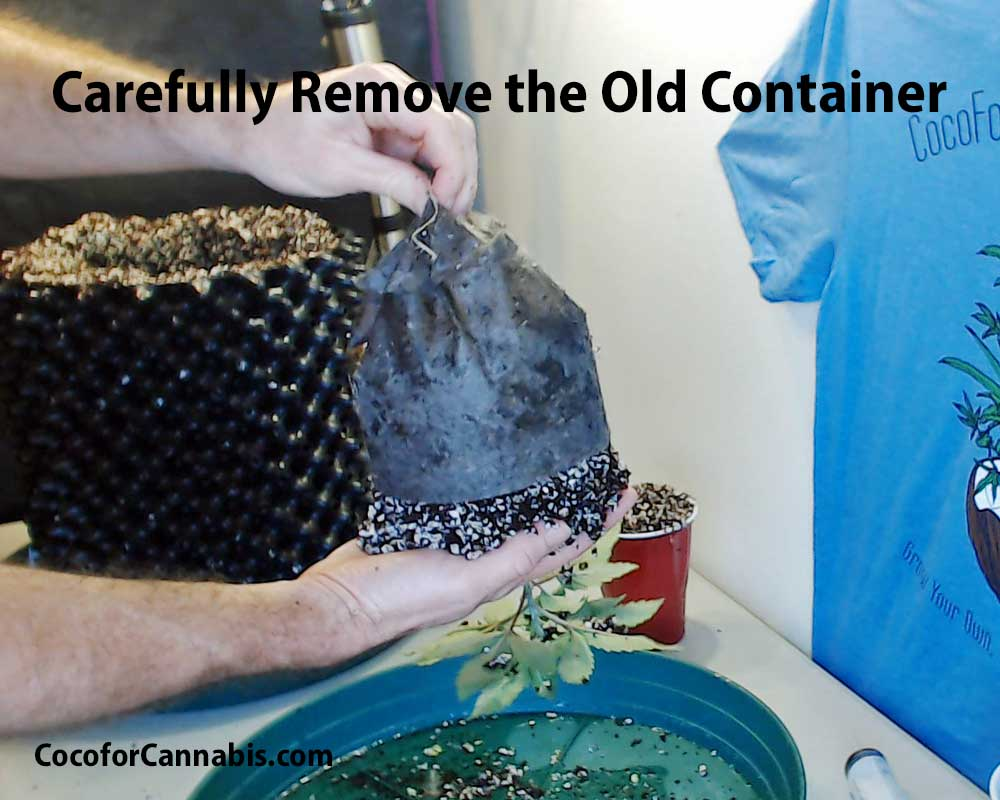 Remove old pot to transplant cannabis