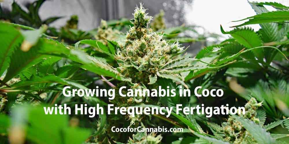 Growing cannabis in coco with high frequency fertigation