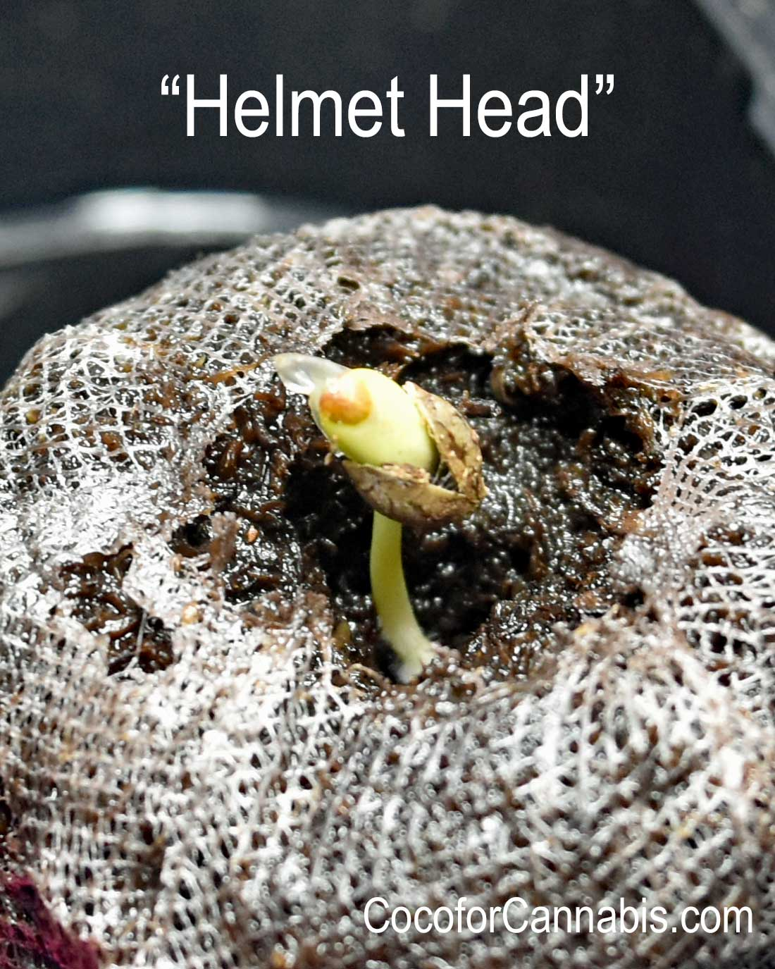 Cannabis Helmet Head