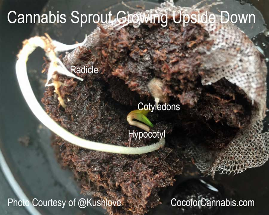 Cannabis Sprout Anatomy